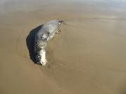 Dead Sea Lion on beach